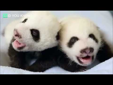 Mama Panda Stuns Caretakers With An Extremely Rare Type Of Birth