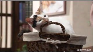 """にゃーにゃ テレビ東京 の 政治猫  """"にゃーにゃ""""  の 体重が激増! 1週間で 約1キロ増!"""
