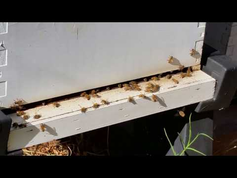 feral bees working in early winter