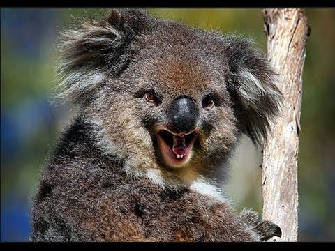 Funny Koala Fight Animals Fighting Compilation Of The Funniest Animals