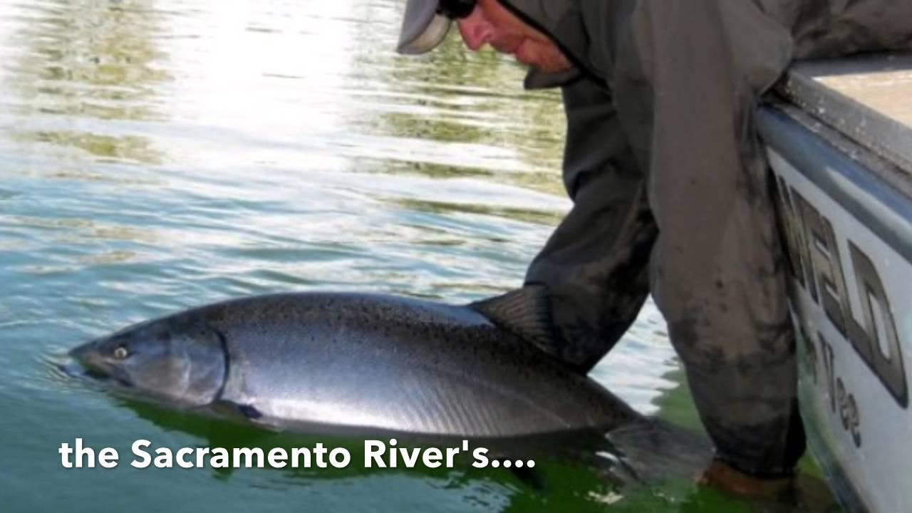 Sacramento river salmon fishing 2017 youtube for Salmon fishing sacramento river