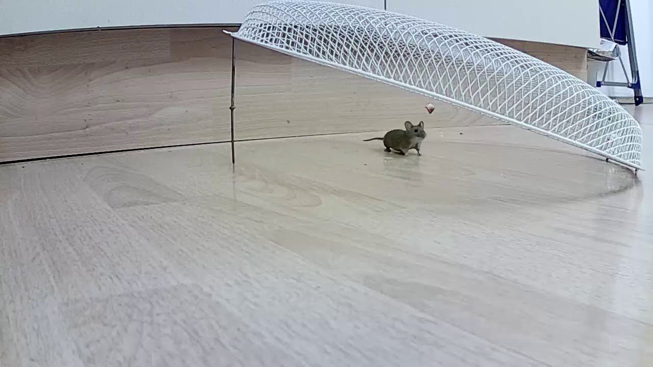 Maus In Der Küche