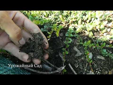 Как подготовить почву для посадки клюквы