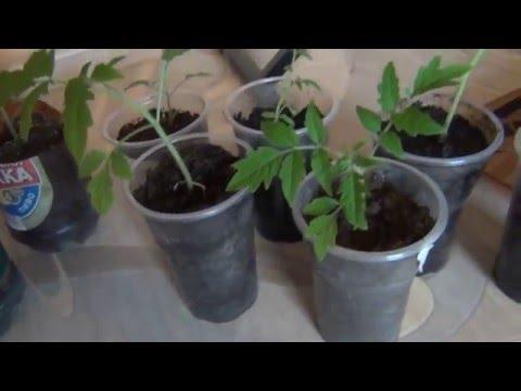 Выращивание томатов по методу Миттлайдера. Видео 10