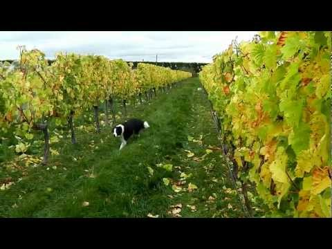 Bloke supervising the Dunnolly Estate Wines Chardonnay harvest.MP4