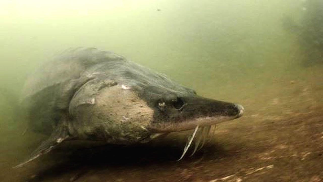 Ассортимент «фуд сити» это более 30 видов свежей и живой рыбы, среди которой можно выделить такие виды, как: форель;; карп;; карась;; кета;; кефаль;; осетр;; толстолобик и так далее. Свежая. Если вы планируете купить свежую рыбу оптом, мы рады предложить вам самые выгодные условия.
