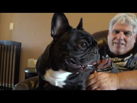 Meet The Breeds: French Bulldog