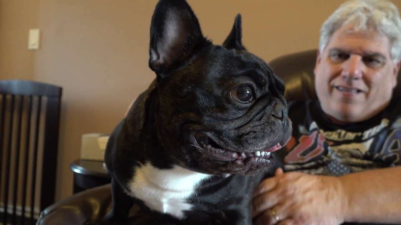 Meet The Breeds French Bulldog Youtube