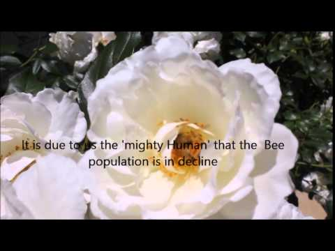 The Humble BUMBLE BEE DECLINE DUE TO  MONSANTO's Input!.