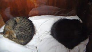 """Глухие"" кошки на кровати. Прикол комфорта"