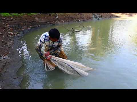 Wow! Unbelievable Fishes A Lot In Pond Now A Fisherman Use Nice Cast Net Fishing 2020