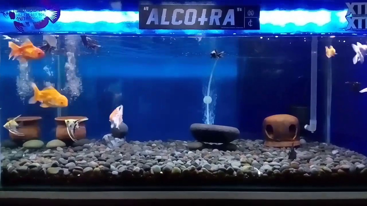 Desain Minimalis Aquarium Mas Koki Manfish Youtube