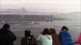 Humpback Whale Feeding Frenzy Monterey, California