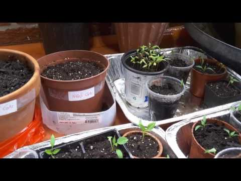 Gieo Ngò gai, Cà pháo, Ớt, Cà chua - New York / Plant culantro, mini eggplant