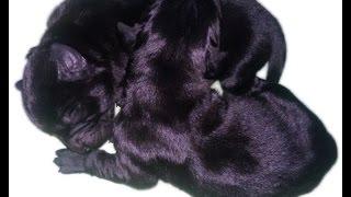 Labrador Retriever Giving Birth 2014