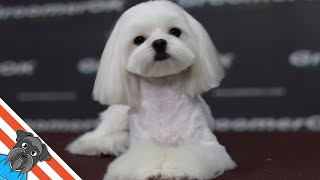 How to groom a dog Maltese?  Dog grooming cute