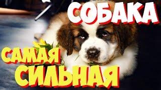 САМЫЕ САМЫЕ сильные собаки мира | Какая самая сильная в мире собака?
