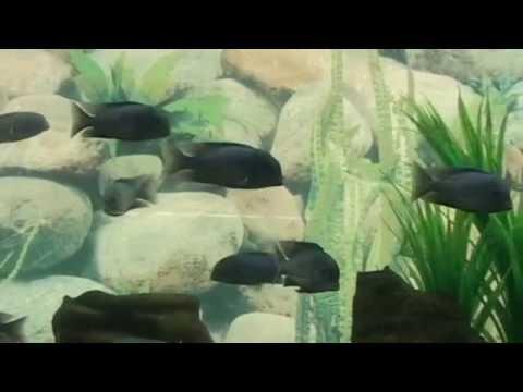 рыбка -  голубой дельфин