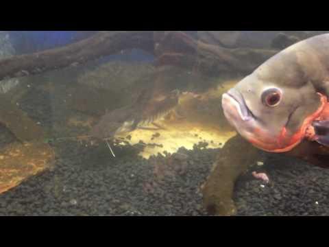 Monster Fish; Monster Appetite- 600 Gallon Tank Feeding