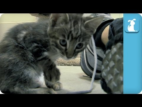 Kittens love Shoelaces - Kitten Love