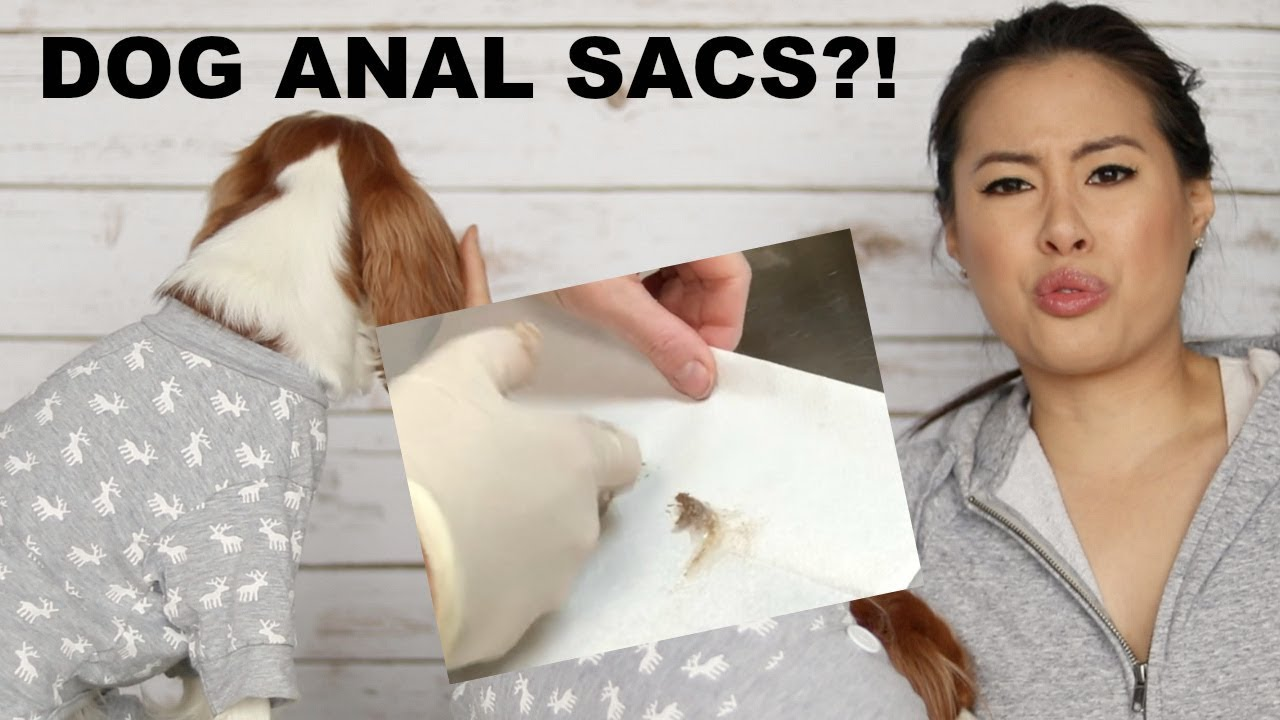 Anal King dog anal sacs and anal glands maintenance | scooting cavalier king charles