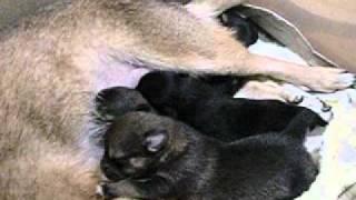 我が家にお預かりしている福島からの避難犬(仮称:鈴)のベビー達 1週...