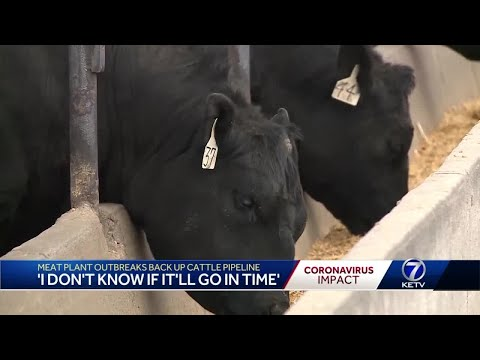 Meat Plant Outbreaks Back Up Cattle Pipeline