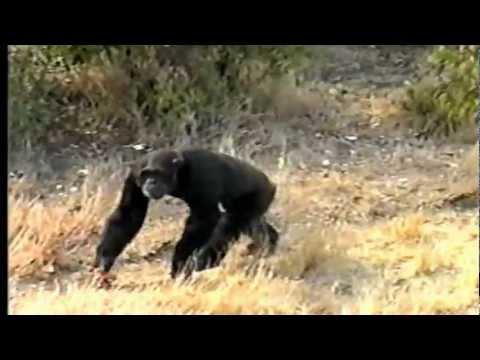 Sweetwaters Chimpanzee Sanctuary, Kenya.