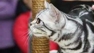 Американская Короткошерстная Порода, Породы Кошек