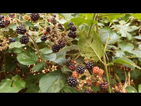 Blackberry Harvest!!