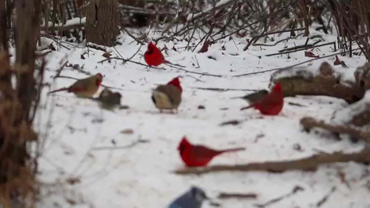 Traveling Flock Of Cardinals Youtube