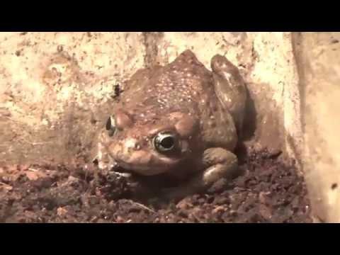European green toad (Bufo viridis) Prague Zoo קרפדה ירוקה