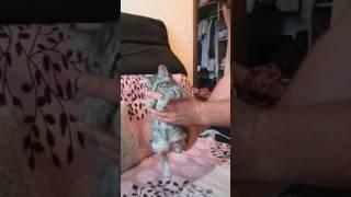 Курильские бобтейлы, котёнок 2,5 мес.