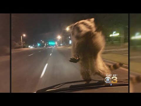 Raccoon Hitches Ride On Police Cruiser