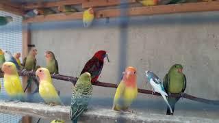 попугаи неразлучники фишера.масковый.розовощекий
