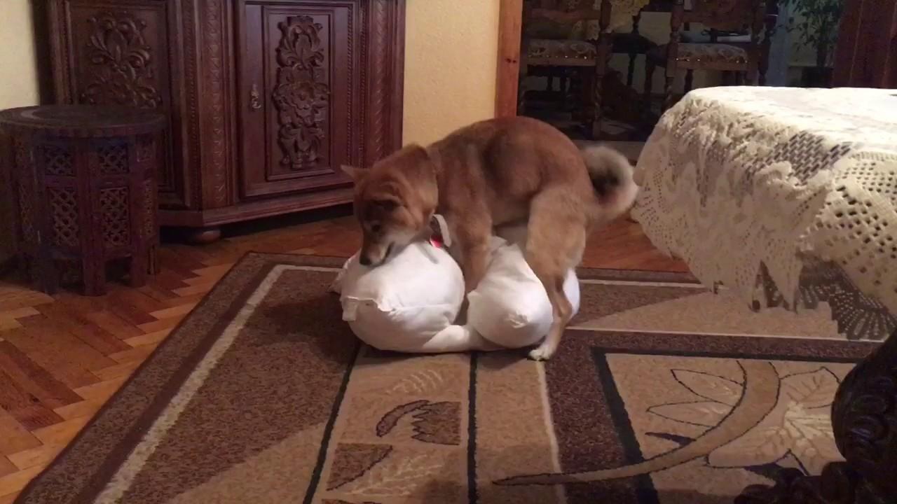 Female Shiba Humps A Pillow Youtube