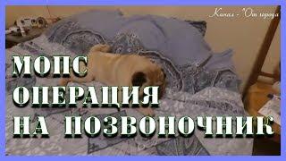 Мопс Мишка- 3 недели после операции на позвоночник 11.04.2017, отказ задних лап.(, 2017-04-11T20:21:26.000Z)