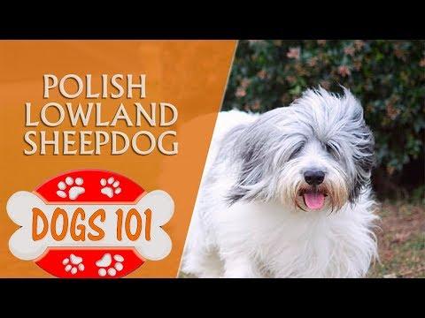 Dogs 101 - Polish Lowland Sheepdog - Top Dog Facts About the Polish Lowland Sheepdog