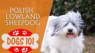 Dogs 101  Polish Lowland Sheepdog  Top Dog Facts About the Polish Lowland Sheepdog