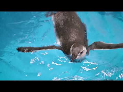 Magellanic Penguin Chick's First Swim!