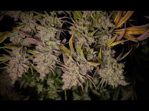 Cannabis DIY: Create Your Own Cannabis Drying Room at Home / Derek Gilman / Green Flower