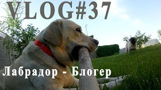 ВЛОГ#37. Правильное питание. Лабрадор - собака друг человека и блогер...