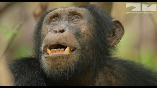 Cheating Chimp Gets Caught In The Act!