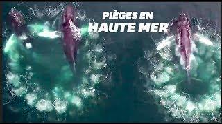 Ces baleines piègent leurs proies avec des bulles et les images sont incroyables