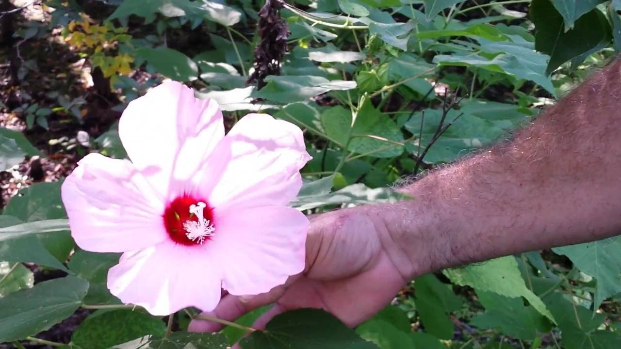 Wild Hibiscus Plant Flower Wild Edible Youtube