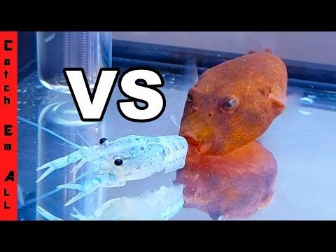 BLUE LOBSTER vs RED PUFFER FISH!