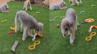 BEDLINGTON TERRIERS ARE SO SPECIAL
