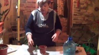 видео Мирт размножение в домашних условиях: выращивание из семян