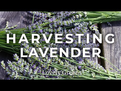 Growing & Harvesting Lavender
