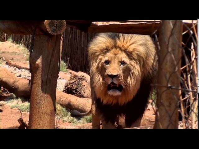 South Africa Finally Responds to Save Lions in Captivity, End
